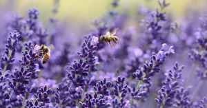 honey-bees-and-lavender