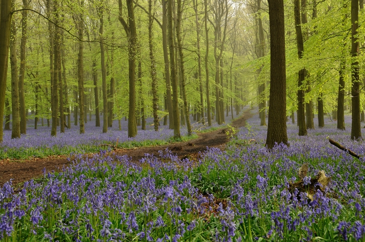 Dockey Wood bluebell Spring14 StarlingR