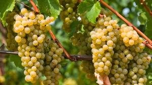 South Tyrolean Wine Road, Caldaro, San Michele all'Adige, Muller Thurgau grapes